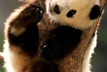 Bears/panda