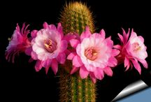 Echinopsis / Gênero Echinopsis
