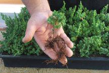 bonsai beginners