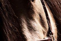 at güzelliği