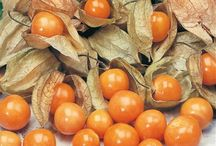 Berry rush - Gojiberrycilegi.com / Berry rush glossy orange fruit with similar size, shape and structure to a small cherry tomato and contained in a papery shell that looks a bit like a Chinese lamp. An associate of the nightshade relations, it is mainly grown in Colombia and South Africa.   Order Online Golden berries  http://www.gojiberrycilegi.com