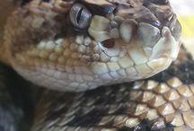 Venomous snake / Moja nástenka zobrazuje jedovaté hady,ktoré sa mi najviac páčia.