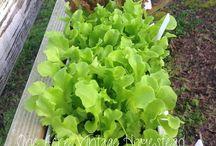 Zahrada salatova
