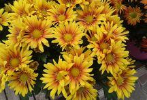 Krizantémok / Japán és Kína hagyományos növénye. Nálunk, Halottak Napjára a késői virágzású, fehér virágú fajokat viszik ki a sírokra. De sokféle változata akár szegélyként is pompássá teheti az őszi virágágyásokat. Neve szó szerint aranyvirágot jelent. http://kertlap.hu/krizantem/