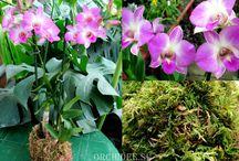 Orchidee.su / О прекрасном и удивительном мире орхидей. Все фотографии орхидей сделаны в оранжерее магазина ORCHIDEE.SU