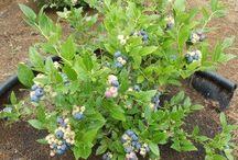 Blueberryboard