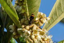 Pericolo per le api - vespa velutina cinese