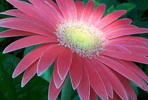 Gerber Daisies / by Kathy Bacon