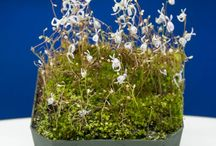 Utricularia aka Bladderworts / Utricularia is a carnivorous plant that can be found worldwide. Its native habitat ranges from the top of mountains, to swamps and bogs. The varieties we sell could be considered companions to our other carnivorous plants. This tiny plant grows a long root which actively consumes harmful microbes. It also displays stunning white, yellow, blue or purple flowers