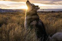 Majestatyczne husky na tle krajobrazów
