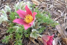 Alberta Perennials / What flowers and plants can survive our harsh Alberta winters? Find out here!