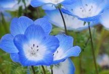 kır çiçekleri mavi