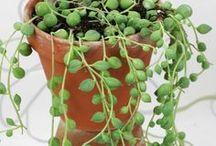Plantas grasa