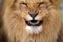 løve buton