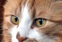 Gatos de jengibre