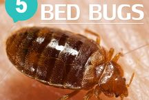How to get rid of bed bugs and other bugs in the house