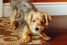 My Yorkie bichon Simon / Dogs