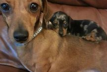 ❤️ my dachshund!  / by Cindy Holcomb Terry