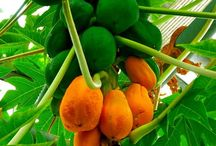 plantae, fructus
