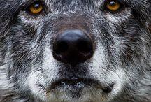 loups et bergers
