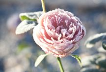 snow_flower_frozen