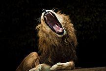 Leones / Lions