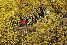 เทศกาลชมดอกซานซูยูที่เมืองกูร์เย (Gurye Sansuyu Festival)