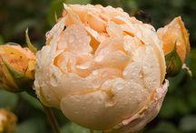 jardin : les roses / jardin