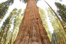 Old & Giant Trees