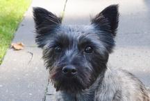 Cairn terrier Saartje / Cairn terrier van 3 jaar, komt uit Vortum Mullem. Speels, onafhankelijk, vrijbuiter, actief en leuk