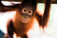 Orangutans / Orangutans