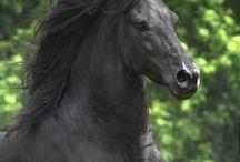 Sorte heste / Sorte heste