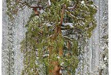 Árboles de mayor antigüedad del mundo y otros .