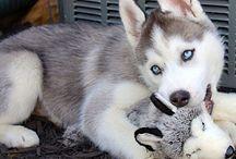 Siberian Husky/Malamute/Wolf