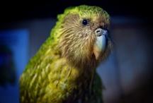 Kakapos / by Anna ~
