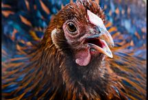 Chickens & Coops / Chickens are kinda cute.  Besides, I really like eggs. / by Leslie Jeffords