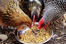 BFF Chickens