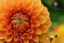 National Dahlia Collection Desktop Downloads