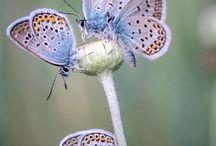 Vlinders / Vlinders