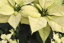 Poinsettia / Poinsettias are traditional Christmas flowering plants that will last throughout the Christmas season.