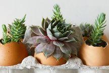 growing succulents