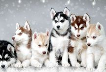I want a Huskey!