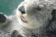 lontra di mare