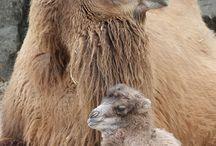 Camels, Llamas, and Alpacas / by Carol Greene