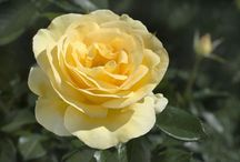 Pale Yellow Roses / In Loving Memory of my beloved Grandfather, Henry Irwin Hummel, who grew fragrant pale yellow roses.