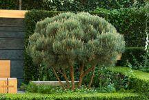 Beplanting: coniferen