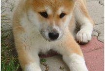 chien Akita
