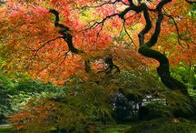 Japanese Maples / In search of the best Japanese Maple tree for my garden. The last acer palmatum died a tragic death!