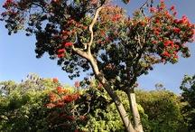 Trees / Australian