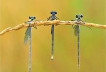Dragonflies / by Juanita McCue